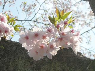 20080420sakura2s.jpg