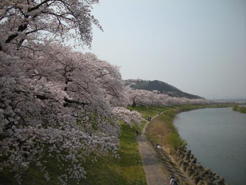 20090411sakura.jpg