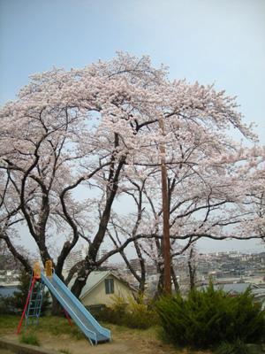 20090412sakura.jpg